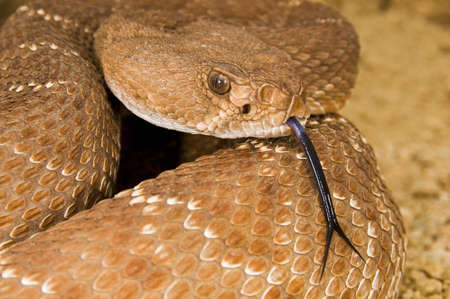defensive: A defensive red diamond rattlesnake (Crotalus ruber)