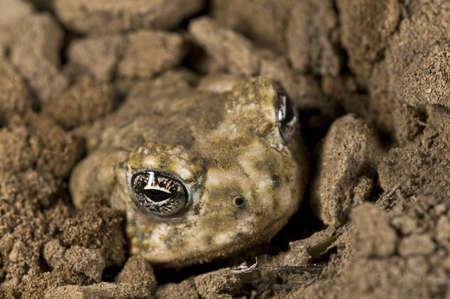 burying: An endangered Arroyo toad (Bufo californicus) burying itself