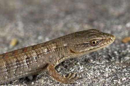 wildanimal: A juvenile San Diego alligator lizard (Elgaria multicarinata webbii), California, USA; lizard sitting on a boulder   Stock Photo
