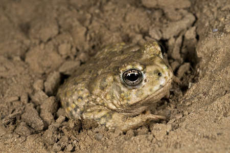 arroyo: An endangered Arroyo toad (Bufo californicus), California, USA; toad burying itself