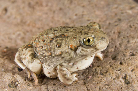 eyecontact: New Mexico spadefoot toad (Spea multiplicata); toad sitting on a rock