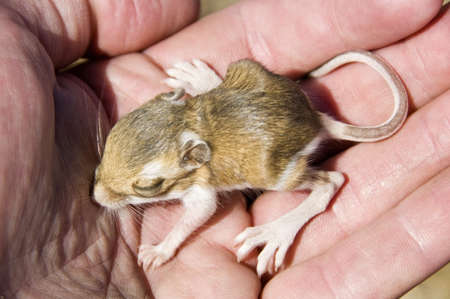 A baby chisel-toothed kangaroo rat (Dipodomys microps) being held in a hand   photo