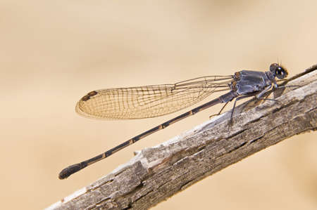 zygoptera: A Damselfly (Zygoptera) perched on a branch   Stock Photo