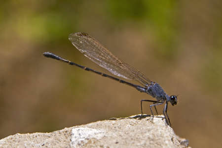 zygoptera: A damselfly (Zygoptera) perched on a boulder
