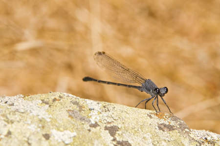 zygoptera: A damselfly (Zygoptera)  Stock Photo