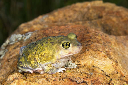wildanimal: A Couchs spadefoot toad (Scaphiopus couchi) sitting on a boulder   Stock Photo
