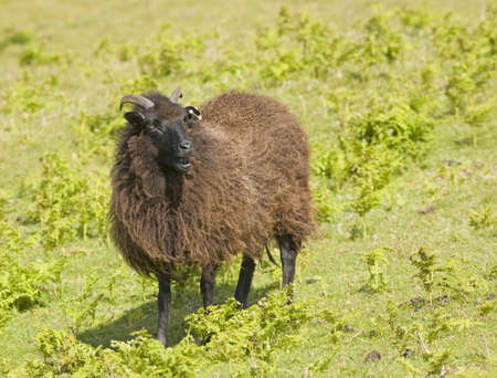 ovis: Black sheep (ovis aries)