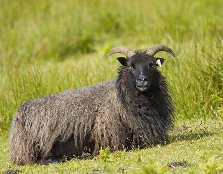 mouton noir: Black sheep (Ovis aries)
