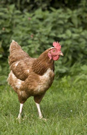Chicken in a field Stock Photo - 7192894