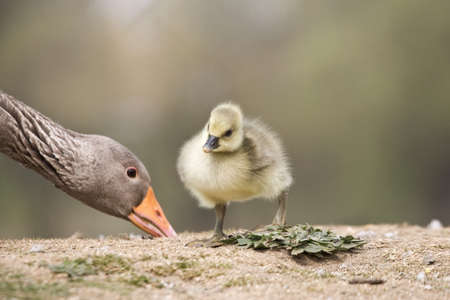 Goose with baby chick