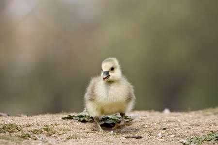 Young goose chick