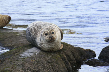 shores: Glengarriff, Co Cork, Ireland; Seal lounging on a rock