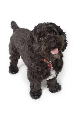 Black Bichon-Cocker Spaniel dog Stock Photo