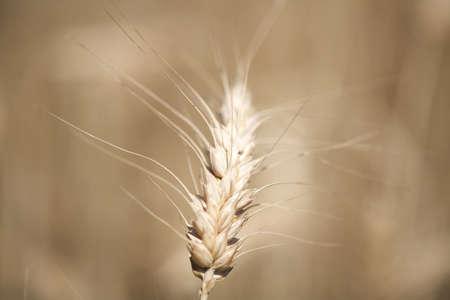 sepias: Wheat