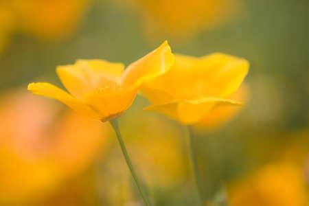 mount hood: Yellow poppy flower, Mount Hood, Oregon, USA