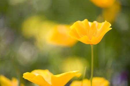 Yellow poppy flower, Mount Hood, Oregon, USA Stock Photo - 7192700