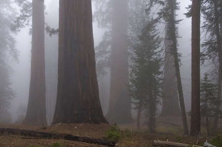Sequoia National Park, California, USA; Forest with fog Stock Photo - 7196050