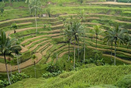 Bali, Indonesia, Asia; Rice terraces Stock Photo