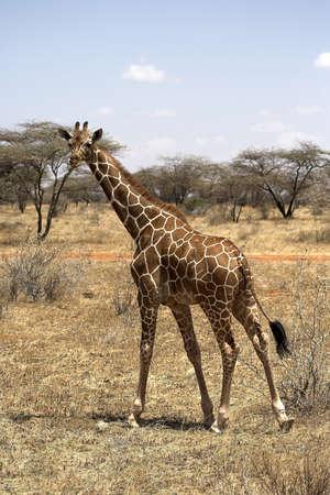 giraffa camelopardalis reticulata: Reticulated Giraffe (Giraffa camelopardalis reticulata); Samburu National Reserve, Kenya, Africa; Giraffe