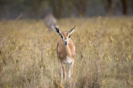 eyecontact: Thomsons Gazelle (Artiodactyla Antilopinae Gazella); Samburu National Reserve, Kenya, Africa Stock Photo