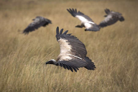 chris upton: Vultures, Masai Mara National Reserve, Kenya, Africa; Vultures flying Stock Photo