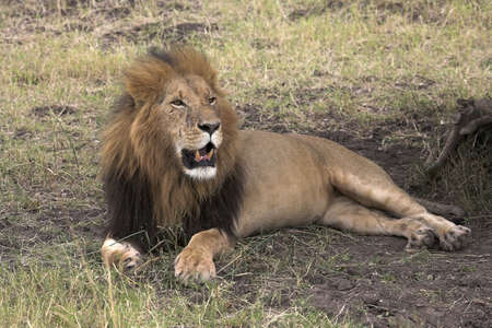 chris upton: Lion Resting, Masai Mara, Kenya; Lion laying on grass in the shade