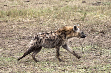 chris upton: Spotted Hyena, Masai Mara, Kenya; Hyena running across grassy plain