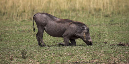 Warthog, Masai Mara, Kenya; Warthog eating grass   photo