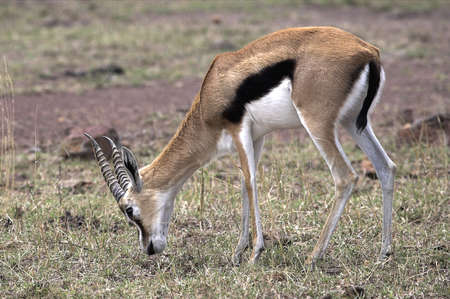chris upton: Thomsons Gazelle, Kenya, Africa; gazelle grazing on grassy plain