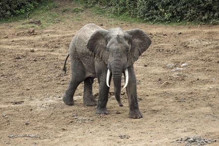 chris upton: African Elephant, Kenya, Africa; Elephant walking  Stock Photo