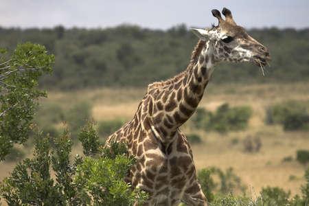 chris upton: Masai Mara, Kenya, Africa; Rothschild giraffe eating Acacia tree Stock Photo