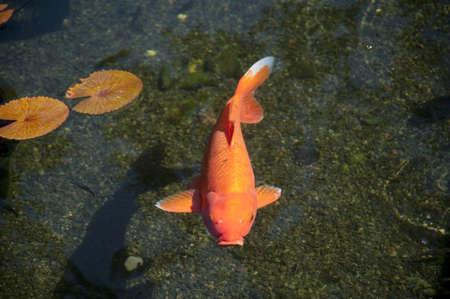 lilypad: Fish; Maui, Hawaii, USA