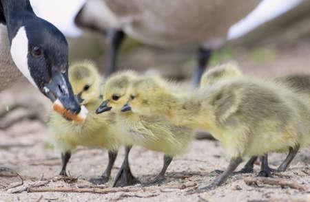 Goose feeding goslings Stock Photo - 7193560