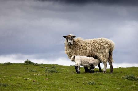 Sheep; Northumberland, England photo