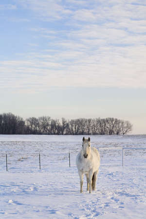 White horse standing in snowy field