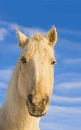 knorr: White horse; Minnesota, USA