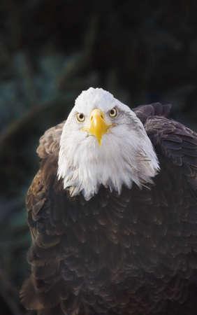 knorr: Portrait of bald eagle (Haliaeetus leucocephalus); Minnesota, USA