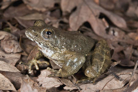 threatened: A foothill yellow-legged frog (Rana Boylii), a species threatened with extinction