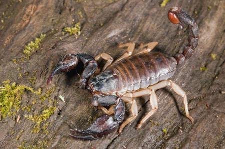 Un escorpión; el condado de Mendocino, California, Estados Unidos  Foto de archivo - 7209570