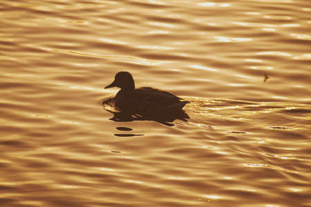 tuttle: Silhouette of duck at sunset Stock Photo