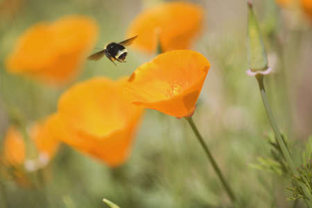 craig tuttle: Bee buzzing over flowers