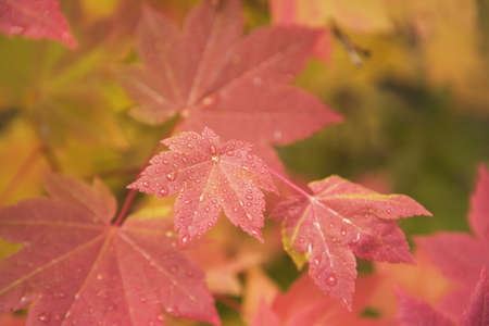 craig tuttle: Close-up of red autumn leaves