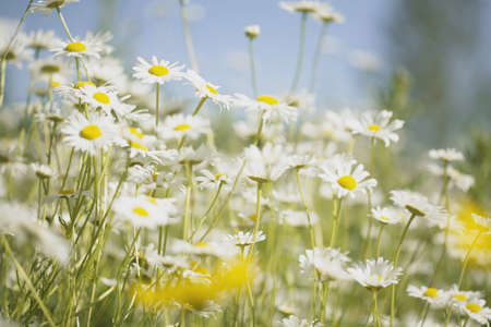 tuttle: Field of daisies Stock Photo