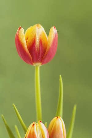 knorr: Spring tulip