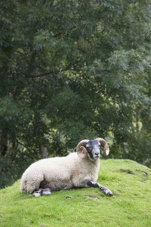 borrego cimarron: Borrego cimarr�n, isla de Arran, en Escocia