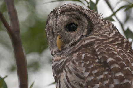 barred: Juvenile Barred Owl (Strix varia) Stock Photo