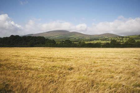 Wheat field Stock Photo - 7195929