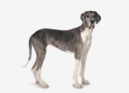 Great Dane dog Stock Photo - 7189661