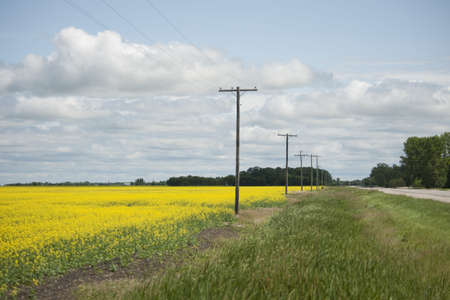 Road alongside a canola field Stock Photo - 7192494