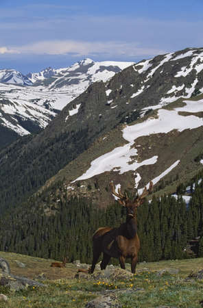alpine tundra: Elk (Cervus canadensis) in alpine tundra